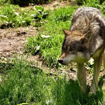 С начала года в Прикамье добыто 156 волков